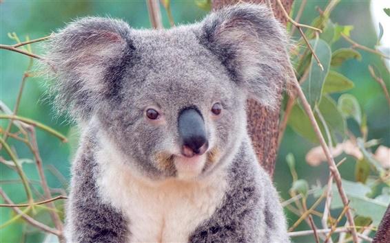 壁紙 かわいいコアラ