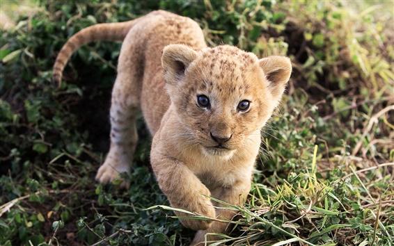 배경 화면 귀여운 사자 배웁니다