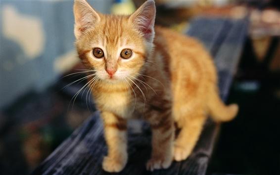 Papéis de Parede Bonito gatinho laranja