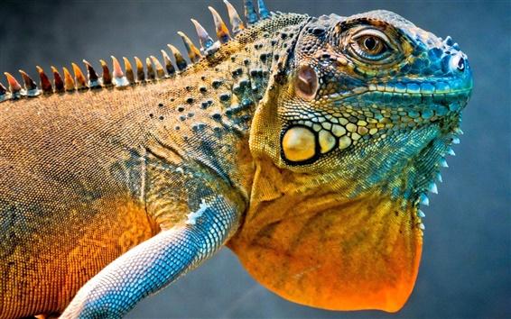 Wallpaper Dragon lizard, a chameleon