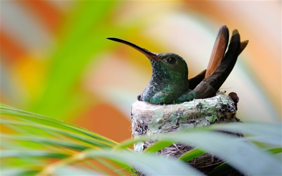 Wallpaper Hummingbird bird nest