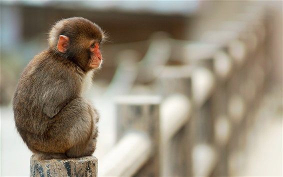 Wallpaper Macaque monkey sitting on stone fence