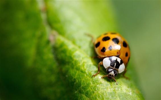 Обои Макро насекомых зеленого листа божья коровка