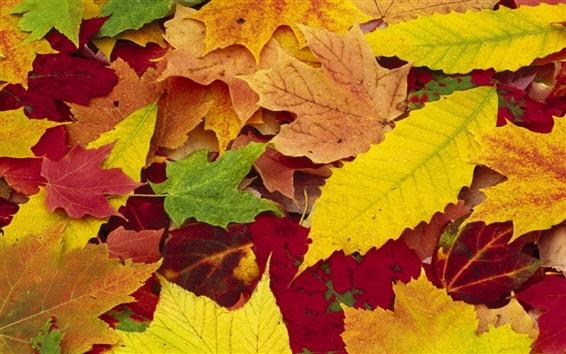 Обои Кленовые листья осеннего сезона