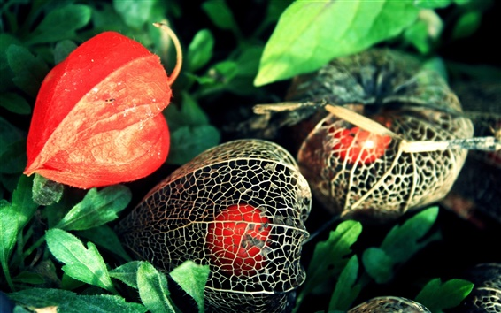 Wallpaper Physalis flowers