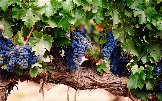 Wallpaper Purple grape harvest season