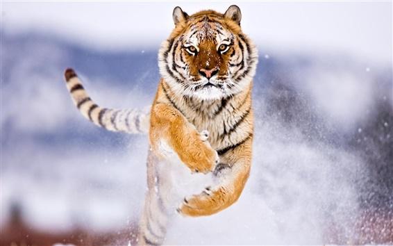 Fond d'écran Tigre de Sibérie neige