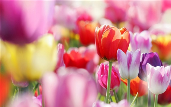 Wallpaper Spring flowers tulips