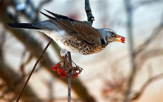 Обои Птица ест красные ягоды