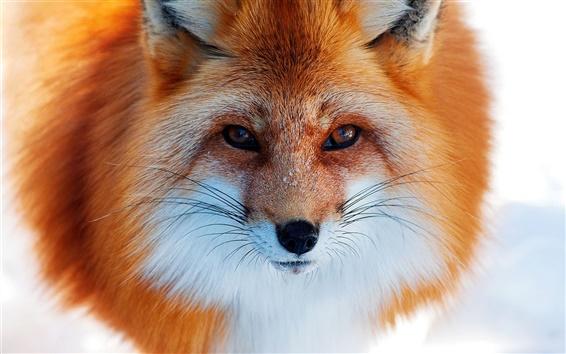 Wallpaper Fox close-up