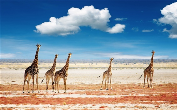 Wallpaper Giraffes sky