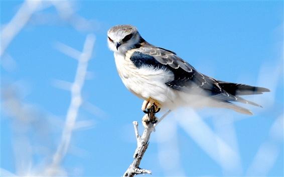 Wallpaper Hawk blue sky
