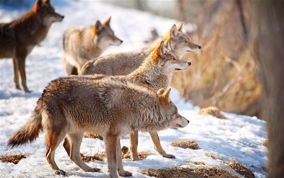 Обои Голод волков в зимний период