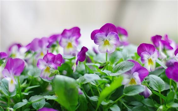 Wallpaper Purple pansy flower