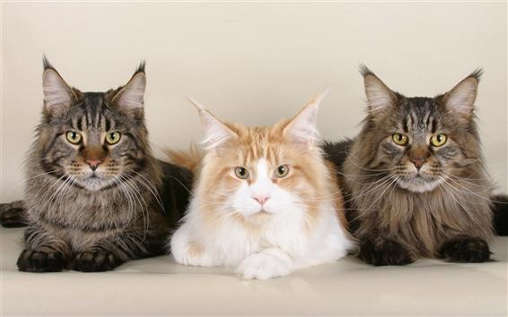 Papéis de Parede três gatos