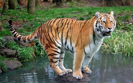 Wallpaper Tiger standing stone in creek