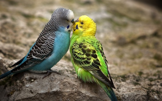 Wallpaper Two budgies