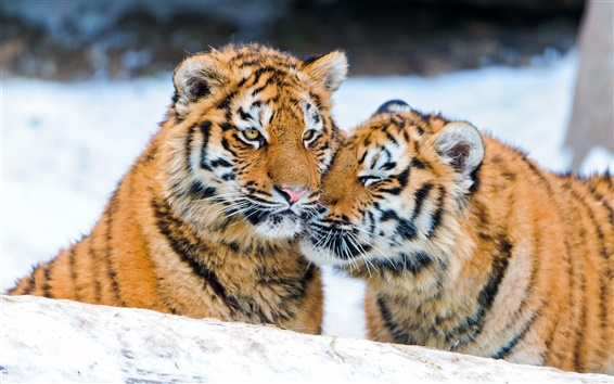 Wallpaper Two tigers in the snow