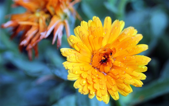Wallpaper After the rain of yellow chrysanthemum