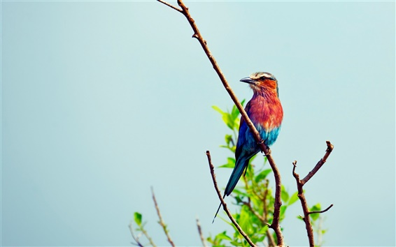 Wallpaper Blue and red colors of bird