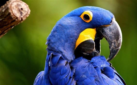 Fond d'écran Bleu ara oiseau