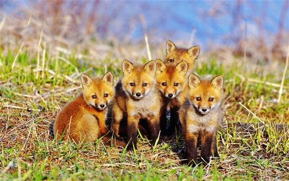Papéis de Parede Cinco bonitinho raposa