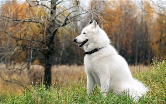 Обои Husky собакой на траве