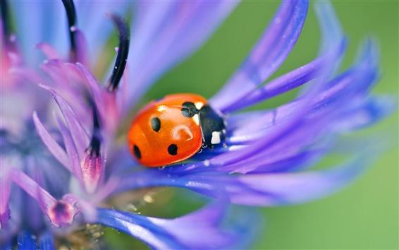 Wallpaper Ladybug on purple petals macro