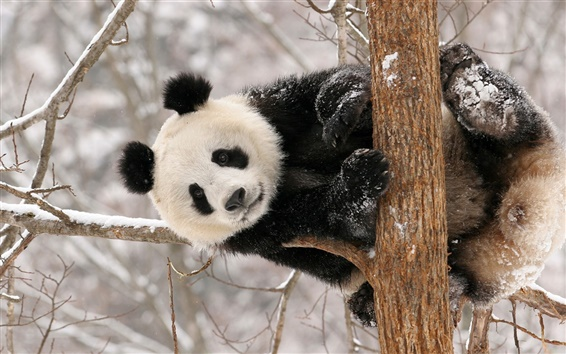 Wallpaper Panda bear winter snow