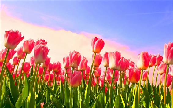 Papéis de Parede Céu botões Tulip