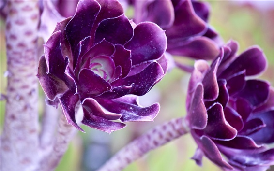 Wallpaper Two purple flowers macro