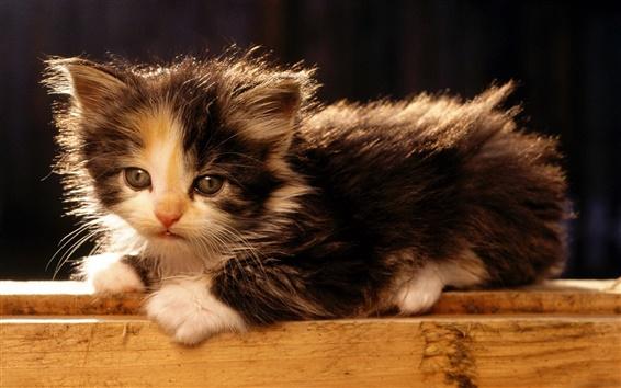 Wallpaper American bobtail kitten
