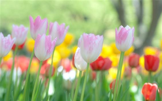 Wallpaper Blooming tulips