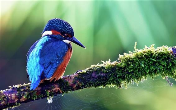 배경 화면 봄에는 푸른 킹피셔