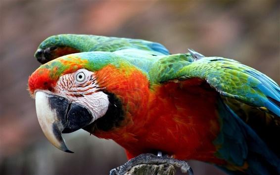 Fond d'écran Perroquet coloré close-up
