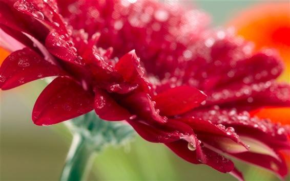Papéis de Parede Gerbera flor vermelha close-up