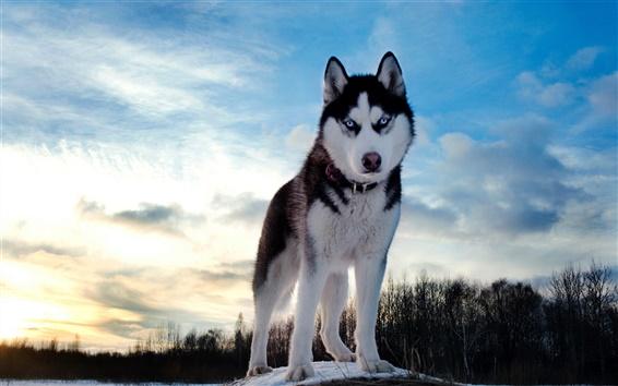 Fondos de pantalla Perro Husky cielo de invierno