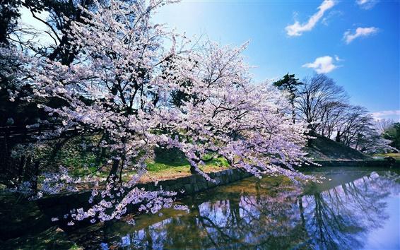 Papéis de Parede Japonesas flores de cerejeira