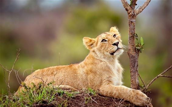 Fond d'écran Lion couché sur le côté arbre