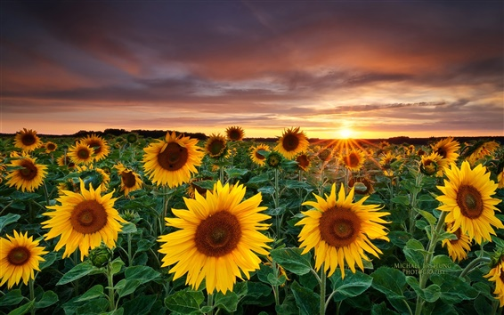 Wallpaper Magic Landscape, Sunflower Garden