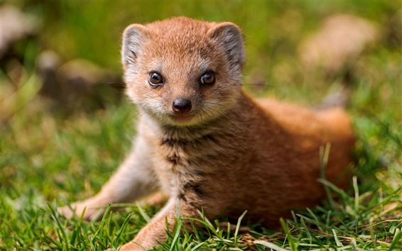 Fond d'écran yeux Mongoose
