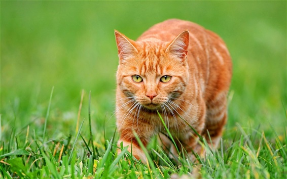 배경 화면 푸른 잔디에 오렌지색 고양이