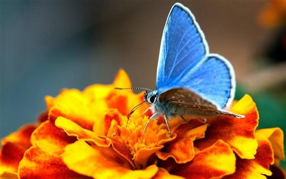 Обои Оранжевые цветы с голубой бабочки