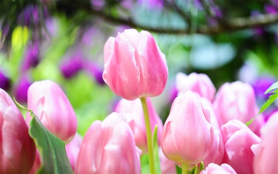 Обои Розовый тюльпан почки яркий весенний
