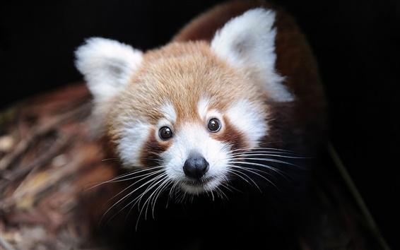 Обои Красная панда