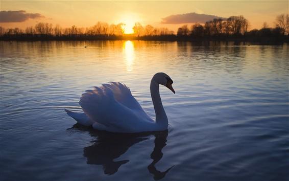 배경 화면 황혼에 백조의 호수