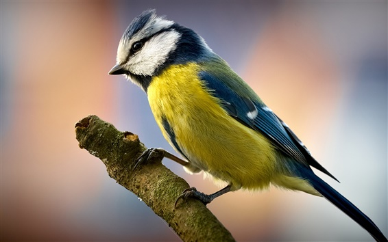 Обои Синица птица крупным планом