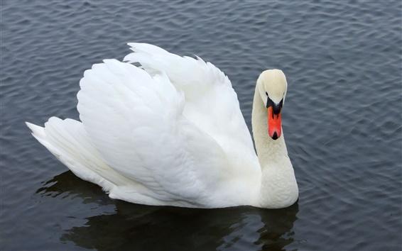 Papéis de Parede White Swan close-up