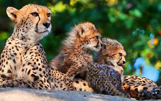 Wallpaper Big cats: Cheetahs