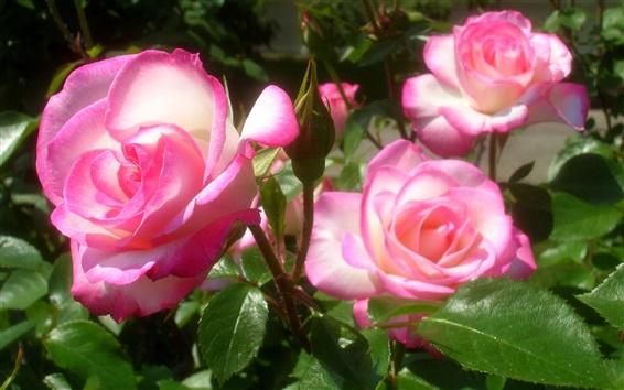 Обои Ярко-розовые розы